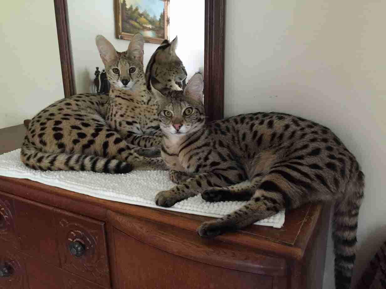 Afrikhan Savannah Cats And Kittens Available To Purchase Here