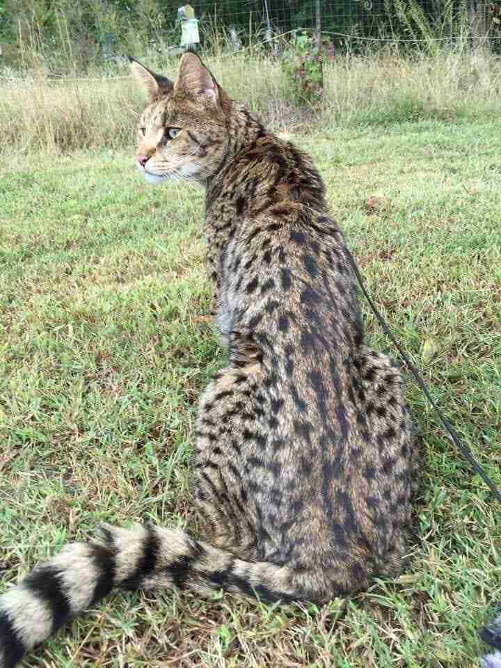 F1 Savannah Cat Google Great Adventure Afrikhan Savannah Cats